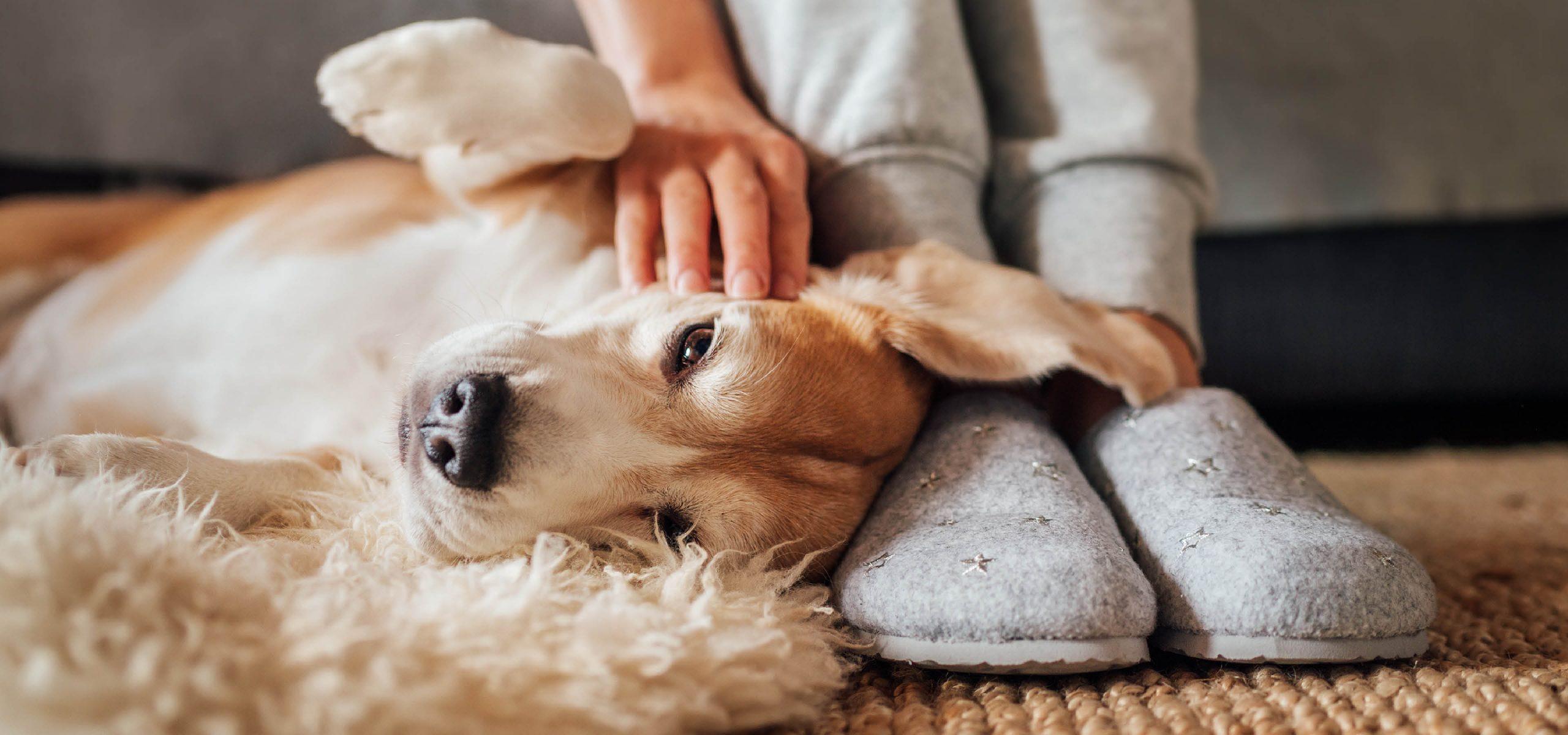 Golden Retriever, kuscheln, streicheln, Hunde
