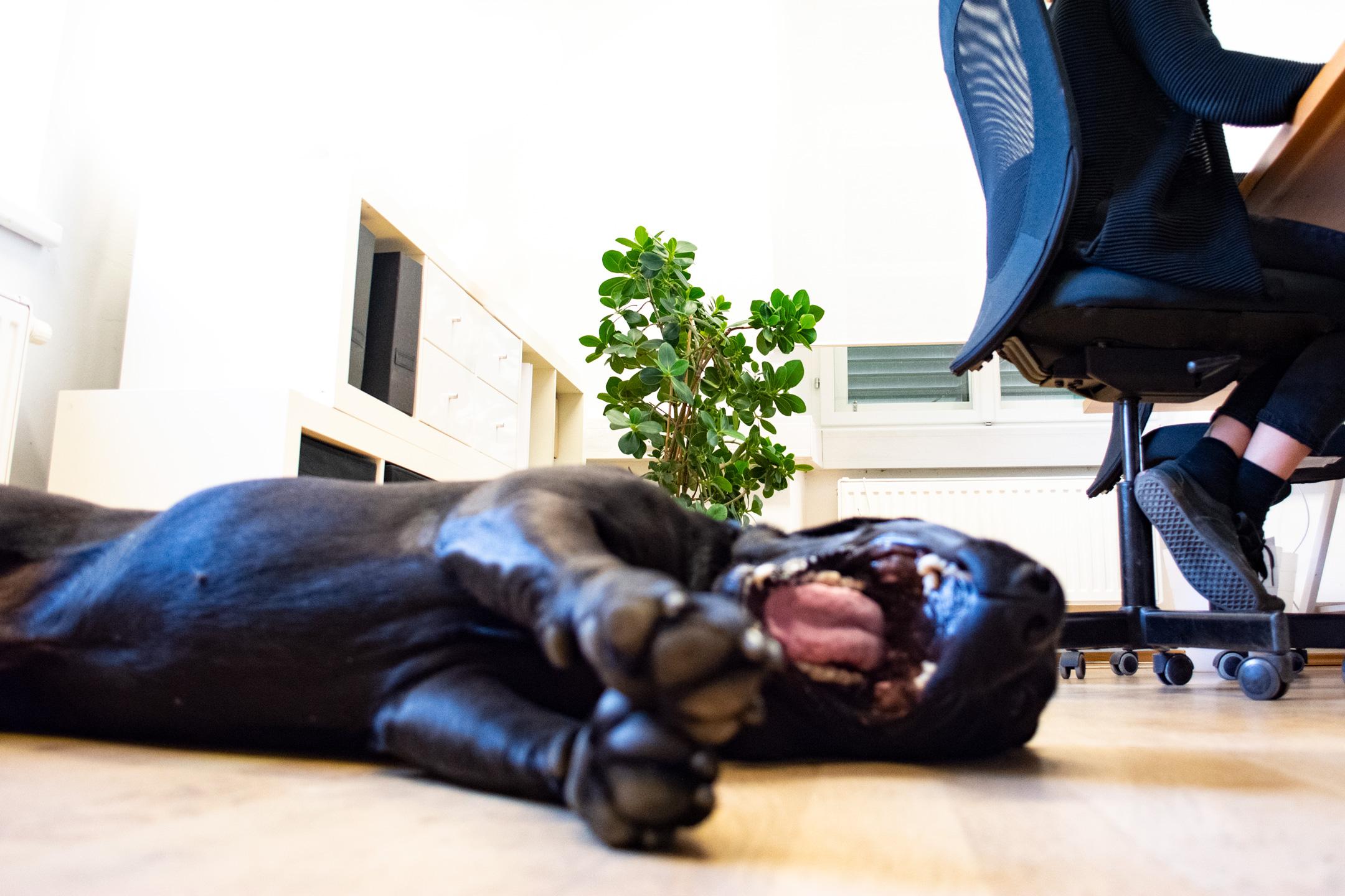 Hund am Boden gähnt