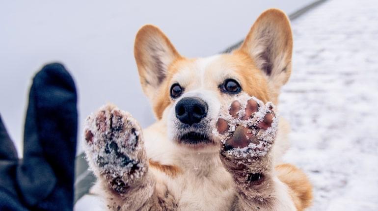 Corgi mit Pfoten voller Eis und Schnee