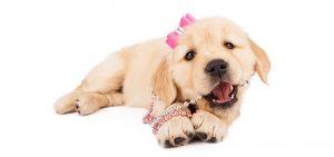 golden Retriever Mädchen rosa schleife