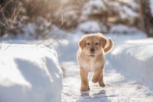 Golden Retriever Welpe läuft im Schnee