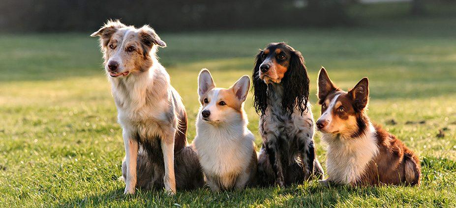 vier hunde unterschiedlicher rassen sitzen in einer reihe auf einer grünen wiese rassen