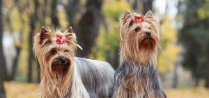 Yorkshire Terrier rosa schleife