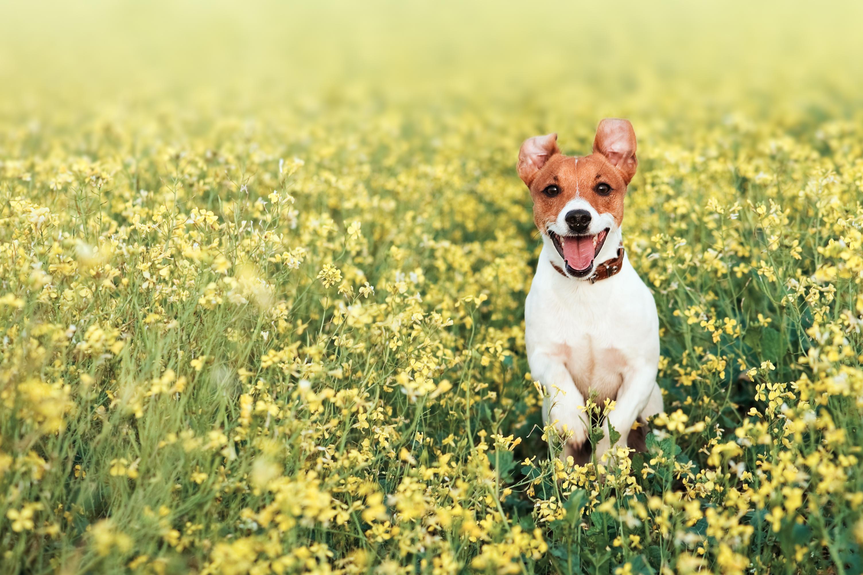 ein jack russel läuft freudig durch eine gelbe blumenwiese