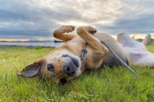 kleiner Mischlingshund an einer Leine der sich im Gras wälzt