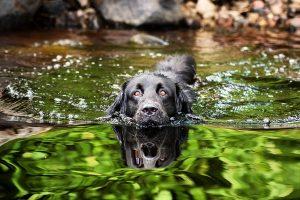 ein schwaruer labrador schwimmt in einem teich in der natur