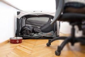 schwarzer labrador liegt in hundebox im büro und schaut nach oben