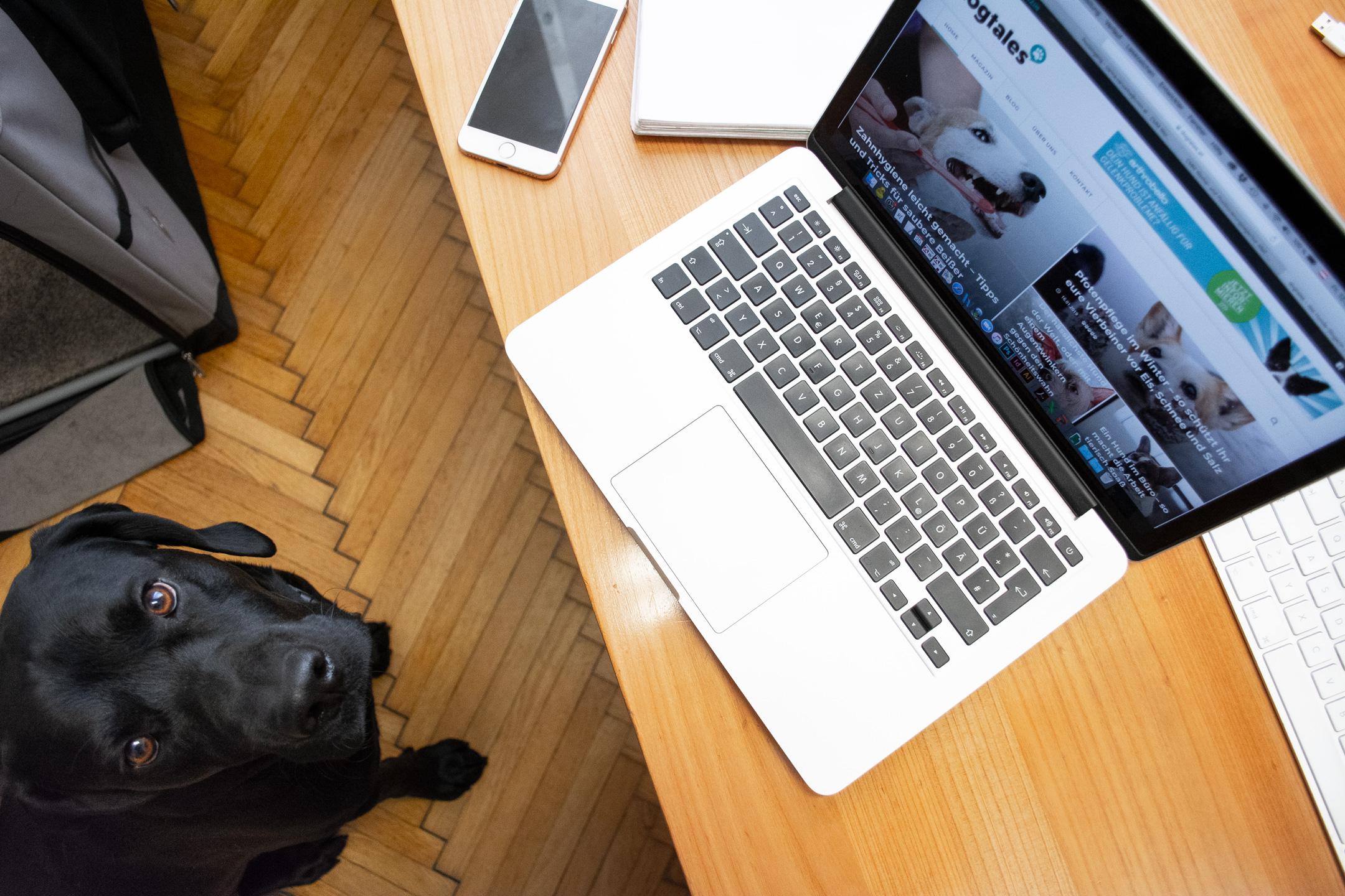 schwarzer Labrador sitzt vor einem laptop mit der dogtales-startseite im büro und schaut nach oben