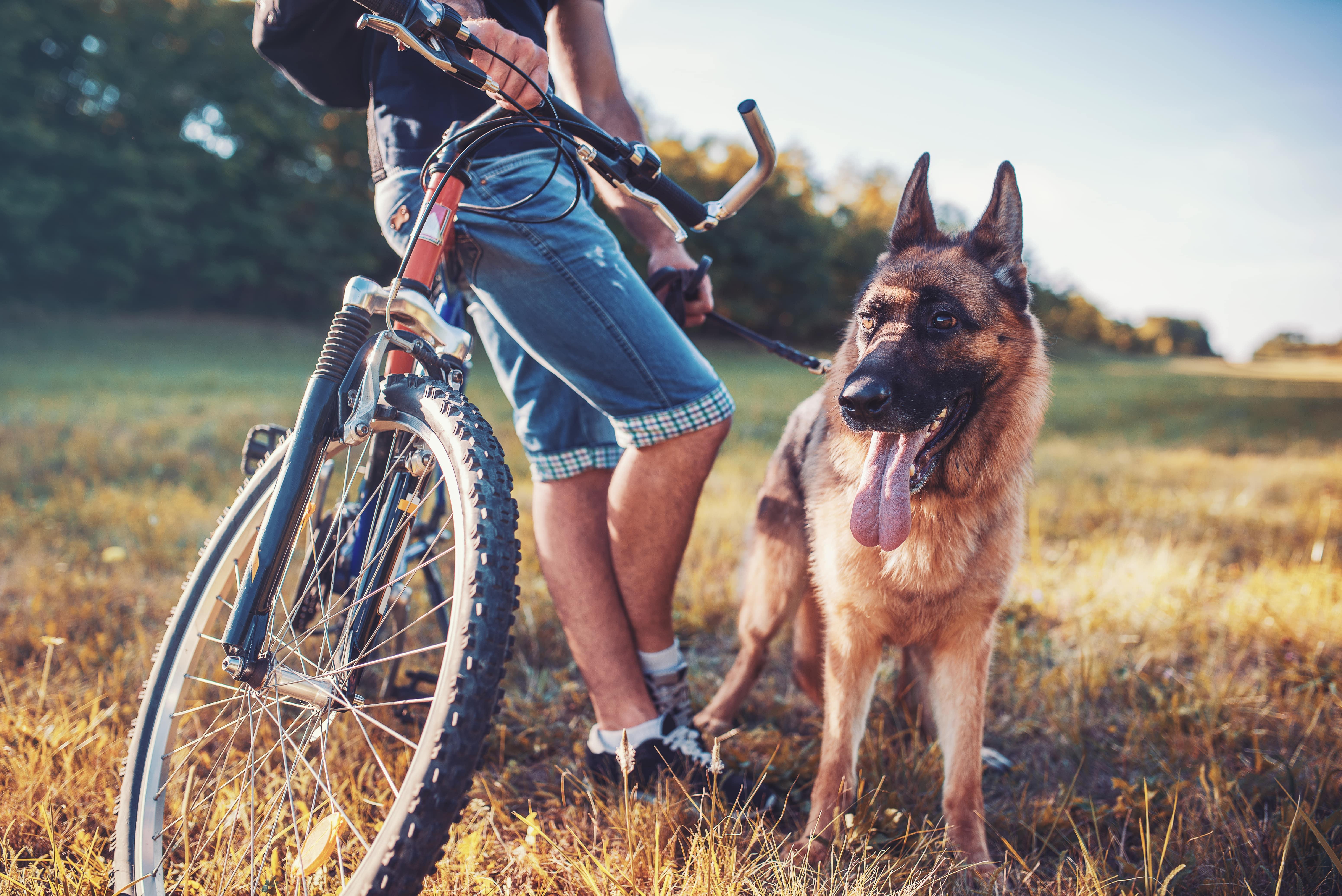 Mountainbiker steh an sein Rad gelehnt in einem sommerlichen Getreidefeld, neben ihm ein Schäferhund