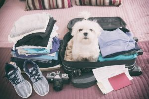 Ein kleiner weißer Malteser Hund sitzt in einem gepackten Koffer zwischen Kleidung und Schuhen. Reisedokumente liegen vor dem Koffer.