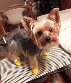 Yorki Maja mit gelben Gummistiefelchen